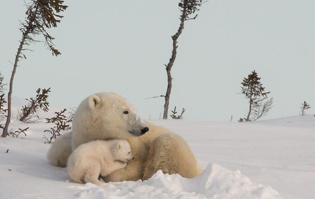 polar-bears-second16-advisor